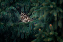 Short-eared Owl, Asio flammeus, sitting on branch the spruce forest. Owl hidden in the forest. Wildlife scene from the nature habi royalty free stock image