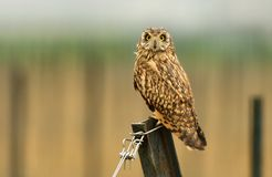 Short-eared Owl - Asio flammeus Royalty Free Stock Photography