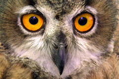 Short eared owl close up Royalty Free Stock Images