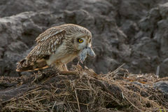 Short eared owl Royalty Free Stock Photography