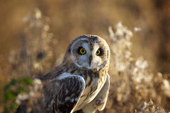 A short eared owl in evening sunlight. Looking at the camera Royalty Free Stock Photos