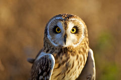 A short eared owl in evening sunlight. Looking at the camera Royalty Free Stock Images