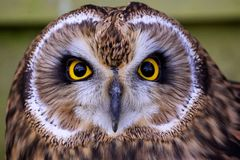 A short eared owl face Royalty Free Stock Image