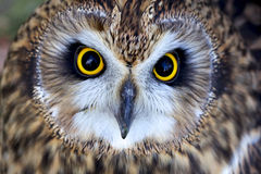 A short eared owl face. A short eared owl close up of its face Royalty Free Stock Photo