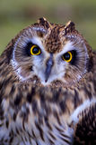 A short eared owl face. A short eared owl close up of its face Royalty Free Stock Photos