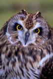 A short eared owl face Royalty Free Stock Photos