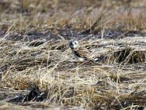 Short-eared Owl in Field Stock Photo