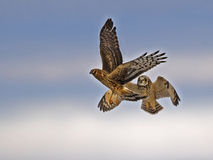 Short-eared Owl in Flight Battling Northern Harrier Royalty Free Stock Image