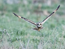 Short-eared Owl in Flight Stock Image