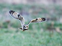 Short-eared Owl in Flight Stock Images