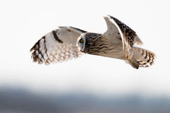 Short-eared owl Stock Photo