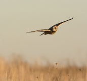 Short Eared Owl Royalty Free Stock Photo