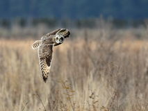Short-eared Owl in Flight Stock Photos