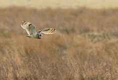 Short-eared Owl Hunting Royalty Free Stock Photography