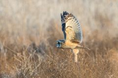 Owl - Short Eared Royalty Free Stock Image