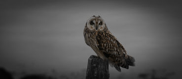 Short-eared owl... Short-eared owl on a line of poles in the netherlands stock images