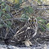 Short-eared Owl looking straight into camera. Stock Photo