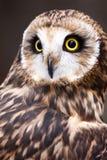 Short-eared Owl med gula ögon royaltyfri fotografi