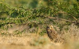 Short eared owl. Short-eared owl in natural habitat with green background in little raan of kutch, Gujarat Royalty Free Stock Image