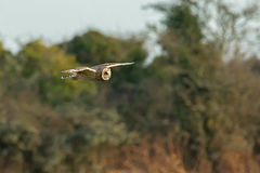 Short-eared Owl over Sussex Countryside Royalty Free Stock Image