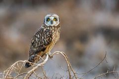 Short-Eared Owl Stock Images