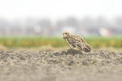 Short-eared Owl perched on farmland Stock Photo