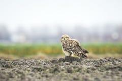 Short-eared Owl perched on farmland Royalty Free Stock Photos