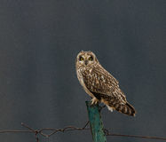 Short-eared Owl Stock Image
