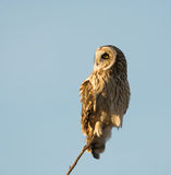 Short Eared Owl Royalty Free Stock Photos