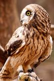 Short-eared Owl Perching Royalty Free Stock Image