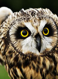 Short-eared Owl Royalty Free Stock Photo