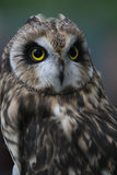 Short-eared owl Stock Image