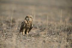 Short-eared Owl roosting on ground at Uran,Mumbai,Maharshtra,India. Asia stock image