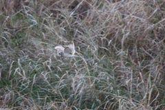 Short-eared Owl. Asio flammeus in Japan Royalty Free Stock Photos