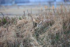 Short-eared Owl. Asio flammeus in Japan Stock Photo