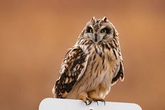 Short Eared Owl On Sign. Short Eared Owl perched on sign Stock Photos