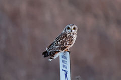Short-eared Owl on a Sign Stock Photography