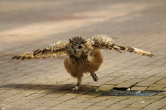 Short-eared owl, spread wings. A short-eared owl spreads its wings Stock Photo