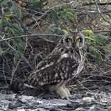 Short-eared Owl staring at camera. Royalty Free Stock Photo