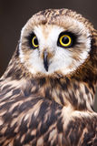 Short-eared Owl  with Yellow Eyes Royalty Free Stock Photography