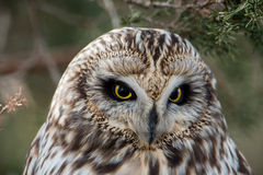 Short Eared Owl Royalty Free Stock Image