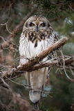 Short Eared Owl stock images