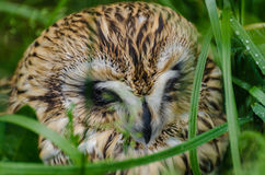 The short-eared owl. In the zoo in Kaluga region Royalty Free Stock Images