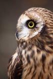 Short-eared Owlprofil av ögon och Bill arkivfoto
