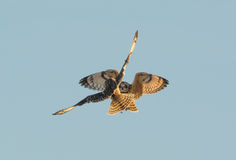 Short Eared Owls Royalty Free Stock Photography