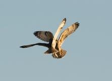 Short Eared Owls Stock Photos