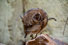 Short Eared Sengi standing on a rock royalty free stock images