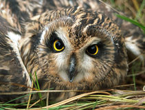Short-earet Owl royalty free stock photography