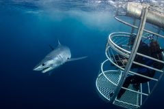 A Short Fin Mako and cage diver stock image