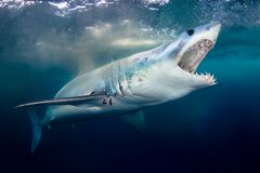 A Short Fin Mako Shark showing its pearly whites royalty free stock photo